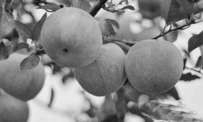 苹果树的夏季修剪技术
