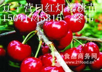 红灯大樱桃苗