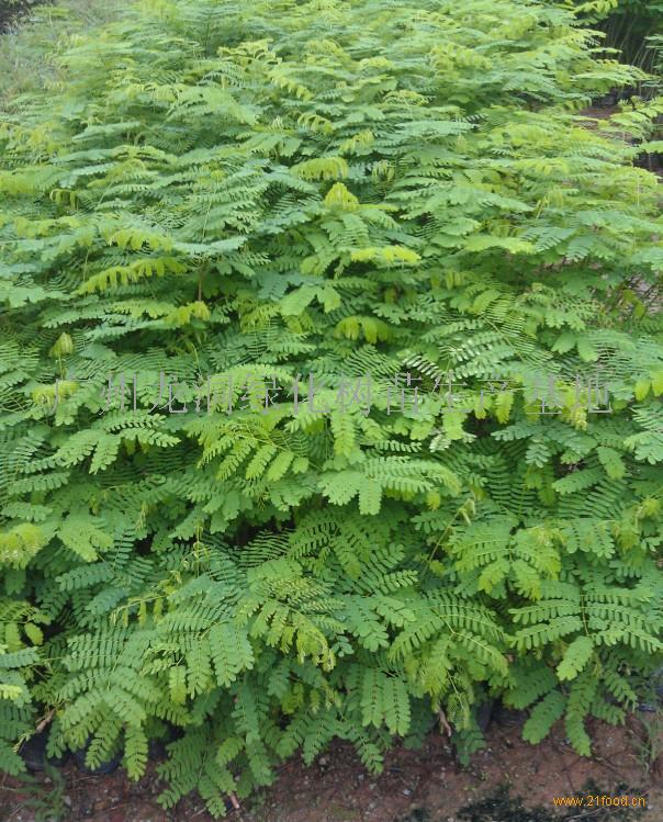 其他未分类 凤凰木         有效期限: 长期有效    广州龙洞绿化树苗