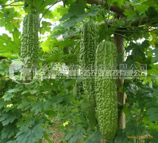 绿珠6号--苦瓜种子