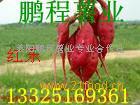 供应日本脱毒红东高系-14地瓜种