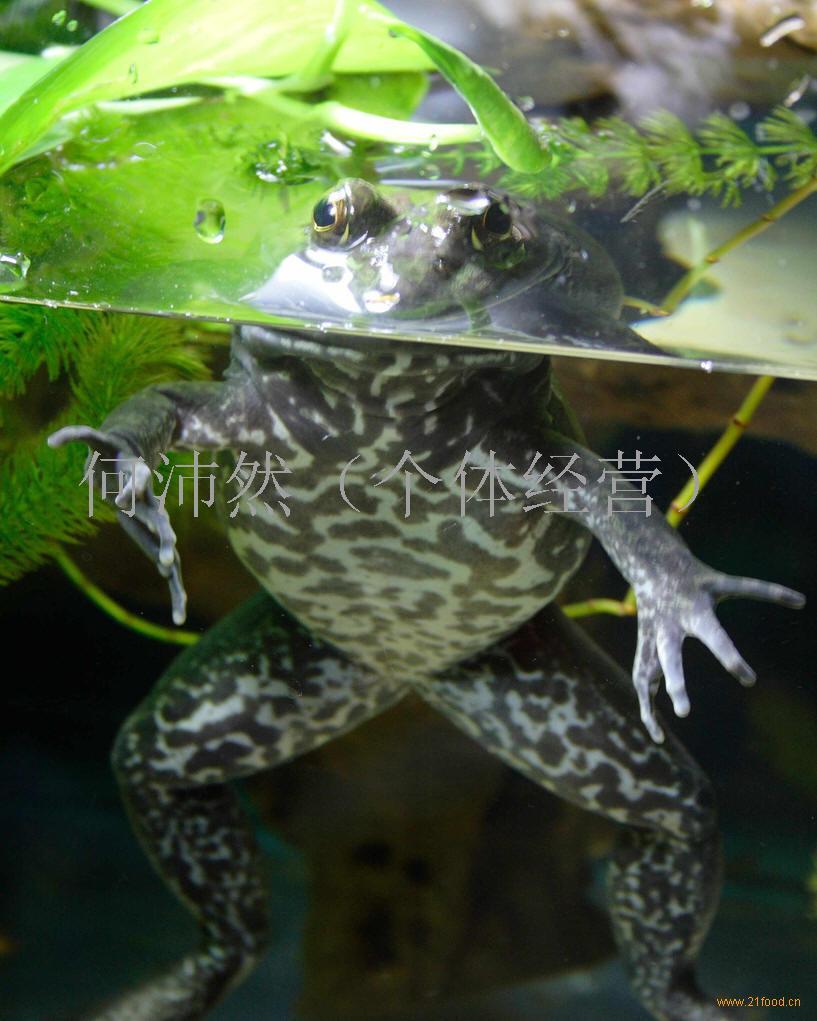 牛蛙细胞手绘图