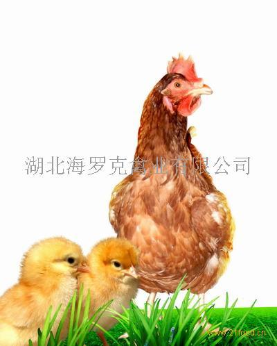 海兰褐蛋鸡