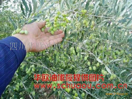 油橄榄树苗,油橄榄树苗