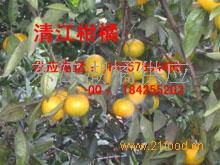东江湖清江蜜桔、柑橘代办、代收