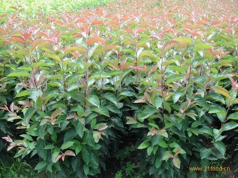 优质寒富苹果占地苗和建园苗