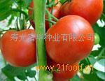 抗死棵抗根腐病大红番茄种子-思想者5869