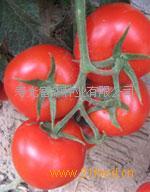 抗死棵抗根腐病粉果番茄种子-欧瑞宝
