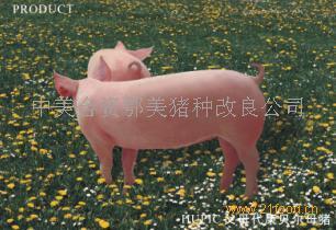 鄂美猪种改良二元母猪