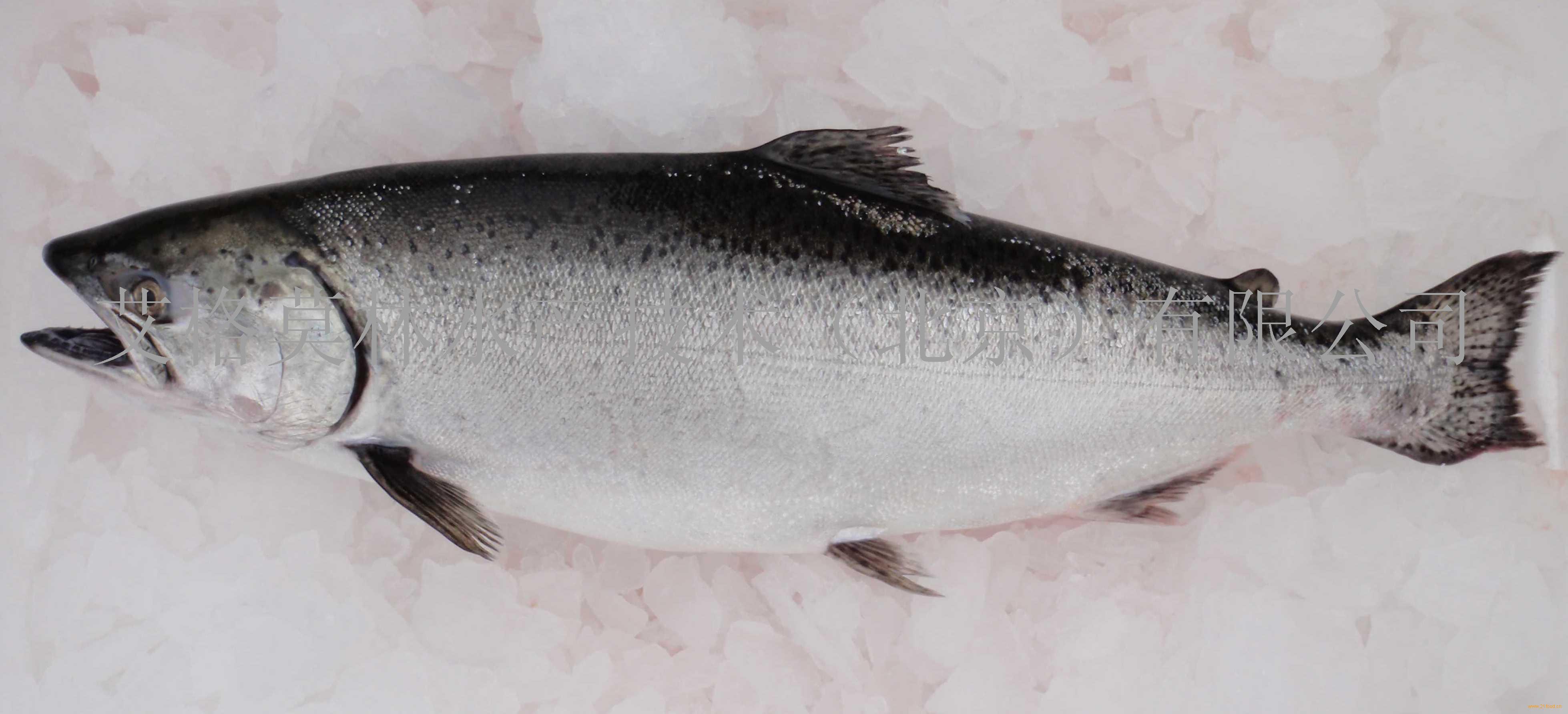 鲷鱼的种类及图片_马鲷鱼种类图解,马鲷鱼的种类及图片;