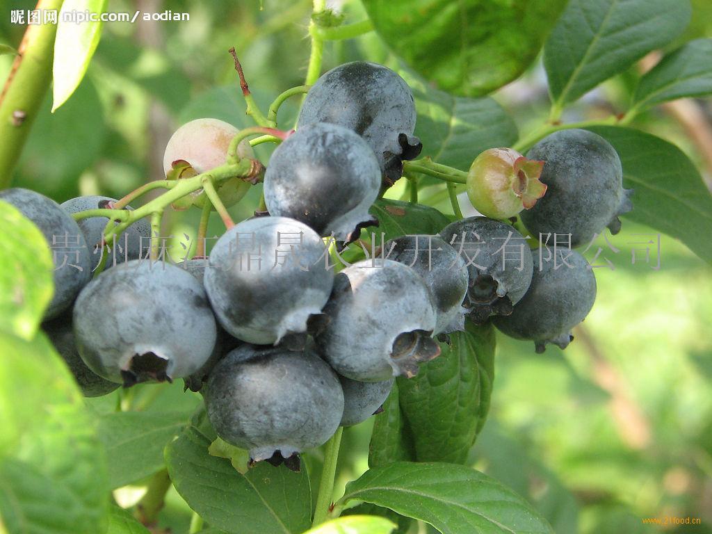 贵州有机蓝莓鲜果