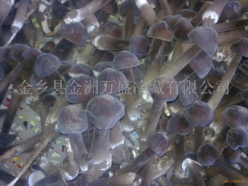 人工培植黑皮鸡枞菌菌种