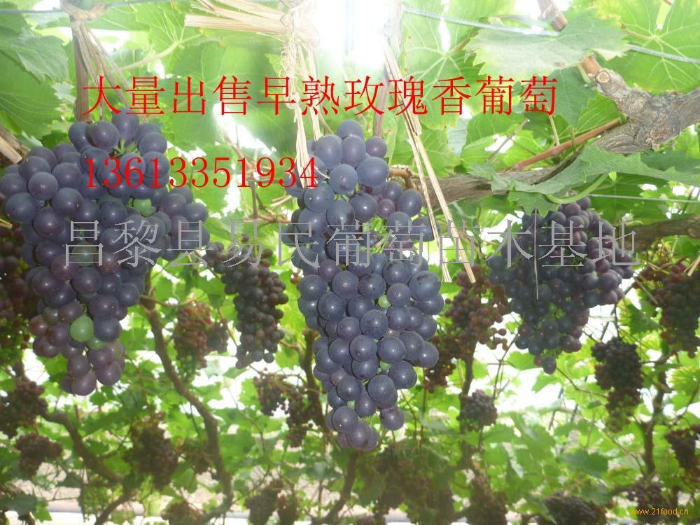 玫瑰香葡萄苗_中国河北秦皇岛_其他未分类-食品商务网