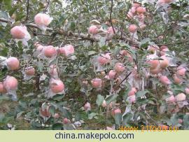 山东潍坊红富士苹果供应基地*