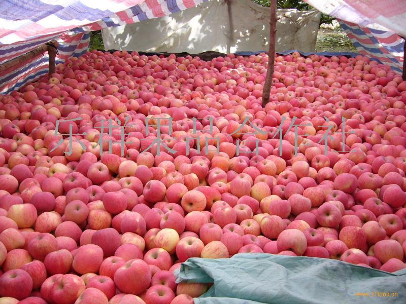 山东省苹果批发价格 山东苹果哪里有