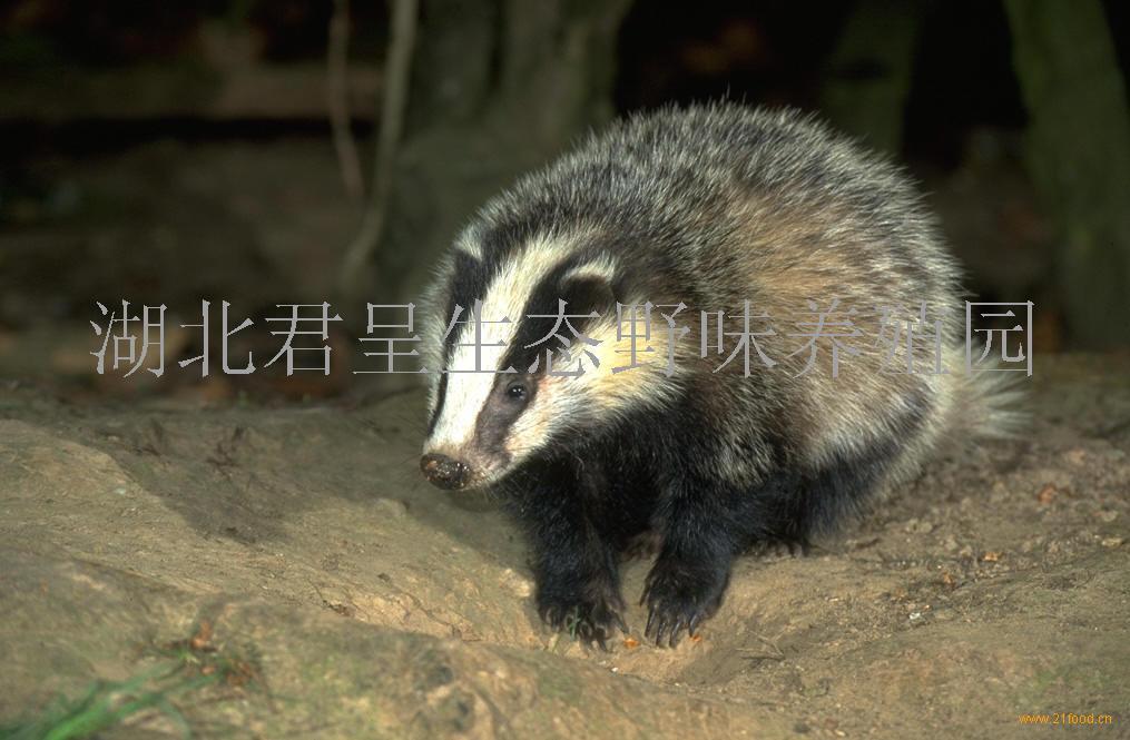 猪獾是不是保护动物