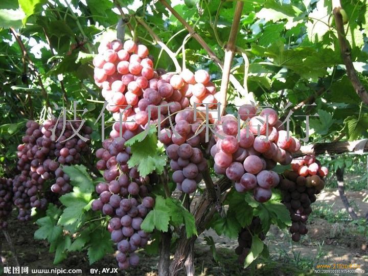 供应优质红提葡萄