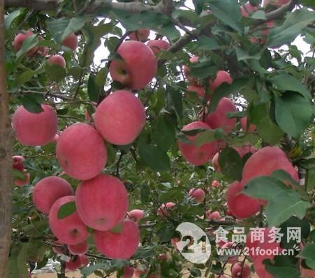 红富士苹果价格_浆水苹果批发价格 河北邢台 苹果-食品商务网