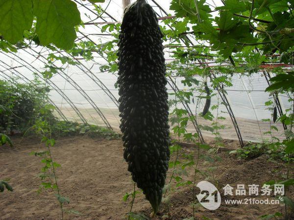黑色苦瓜种子