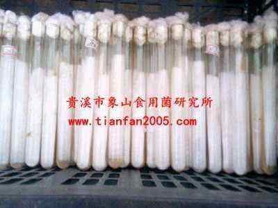 高温平菇菌种