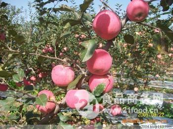 苹果批发价格