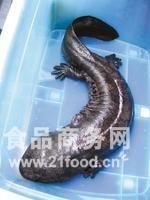 汉中各种规格优质娃娃鱼!