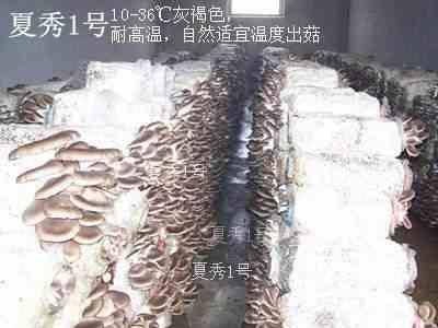 高温秀珍菇菌种热点推荐18*180mm试管母种