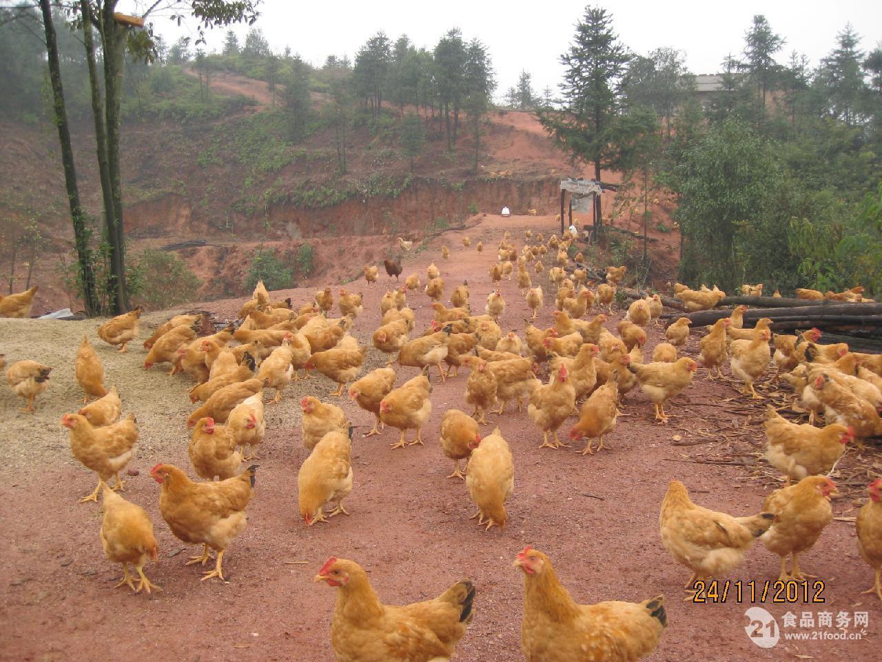 本养殖园长期提供生态散养土鸡,土鸡蛋,农家茶籽油等一些农家土特产,供应干、湿蕨菜,野生蕨菜地处江西深山老区的山野菜、生长具有无污染、纯天然优点,产量大、质量高、绝对绿色。本人能代理收购大量质量好的蕨菜。希望与长期收购的采购商建立合作。