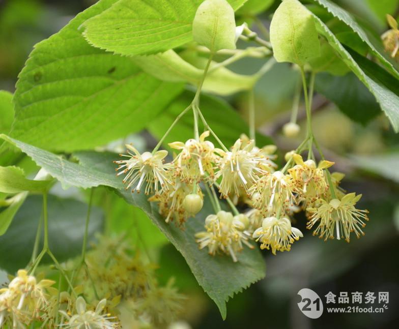 椴树花提取物粉