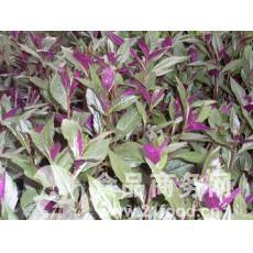 紫背天葵种苗