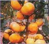 柿子苗|甜柿子苗