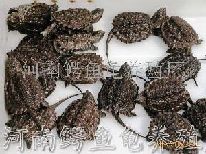 小鳄鱼龟龟苗