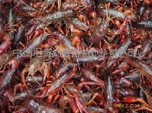 盱眙龙虾种苗