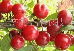 中华钙果苗