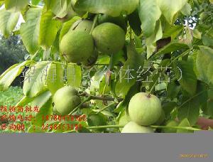 核桃树,核桃树种植,核桃树管理,核桃树嫁接,核桃树技术