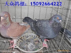 大众鸽棚 肉鸽饲养效益 养鸽前景