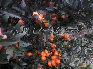 广西南丰蜜桔