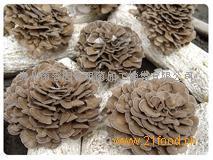 灰树花菌种