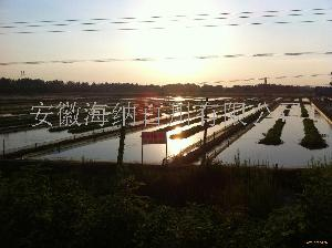 全国*的泥鳅养殖基地|安徽水参养殖场