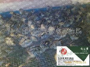 冯氏珍禽养殖场优质七彩山鸡苗