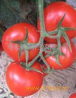 番茄种子——以色列89号