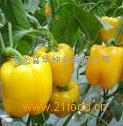 甜椒种子——黄佳(荷兰引进
