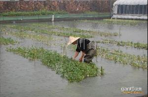 安徽肥西水上蔬菜泥鳅养殖场