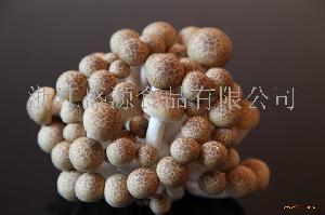 供应蟹味菇