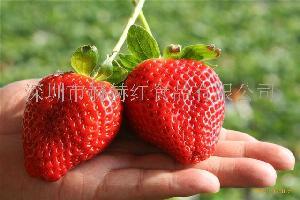 草莓(丹東椅圈)