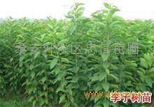 脆红李子树苗