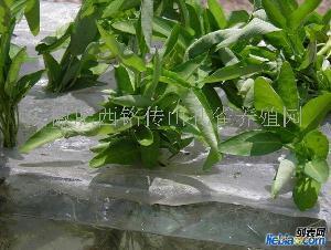泥鳅养殖安徽泥鳅养殖