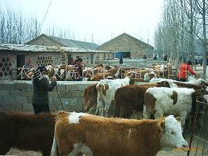 小黄牛养殖视频