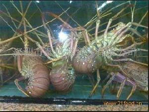 活澳洲红龙虾