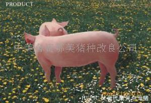 PIC康贝尔母猪(长大二元母猪)